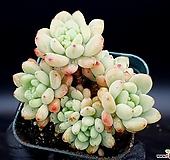 묵은로치(자연군생) 17-121|Sedum Clavatum