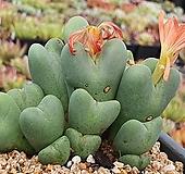 축전 411-1210|Conophytum bilobum