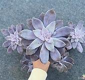 [다온] 펜타드럼 다육식물|pentandrum superbum