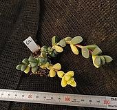 벽어연금62|Corpuscularia lehmanni