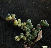 벽어연금20|Corpuscularia lehmanni