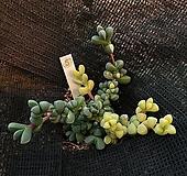 벽어연금5|Corpuscularia lehmanni