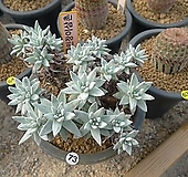 화이트그리니.20두.묵은둥이Bx26 Dudleya White greenii