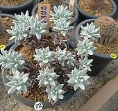 화이트그리니.20두.묵은둥이Cx26 Dudleya White greenii