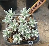 [겨울특판]화이트그리니11두(69)x26 Dudleya White greenii