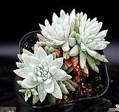 화이트그리니(자연군생) 20-172 Dudleya White greenii