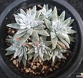 화이트그리니-201 Dudleya White greenii