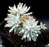 화이트그리니(자연군생) 20-396 Dudleya White greenii