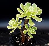 청법사금 20-431|Aeonium arboreum