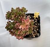 소인제금|Aeonium sedifolius