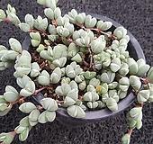 원종벽어연-211|Corpuscularia lehmanni
