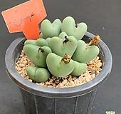 축전1127-644|Conophytum bilobum