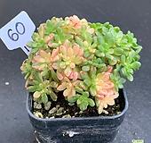 소인제금1127-60|Aeonium sedifolius