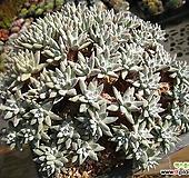화이트그리니1127-2|Dudleya White greenii