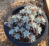 화이트그리니 801127|Dudleya White greenii