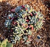 화이트그리니 351127|Dudleya White greenii