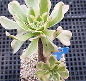 청법사금1127|Aeonium arboreum
