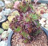 흑법사철화군생(558)|Aeonium arboreum var. atropurpureum