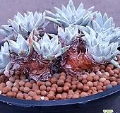 두들레야 화이트그리니 목대한번보세요 대박 특가로드려요  1167 산아래다육이 Dudleya White greenii