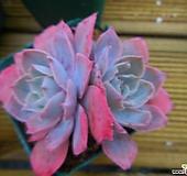 핑키6|Echeveria cv Pinky
