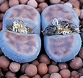 리톱스 묵둥이쌍두입니다 씨수정됐네요 실생해보실분품어보셔요  1169 산아래다육이|Lithops