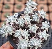 화이트그리니 적심군생 1128-19 |Dudleya White greenii