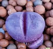 루비리톱스  특가로드려요  1158 산아래다육이|Lithops