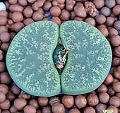 리톱스 벤타그린 수입들어온사이즈좋은고급종입니다  씨수정됐네요 실생해보셔요  1167 산아래다육이|Lithops