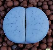 리톱스 슈도볼키 수입들어온사이즈좋은고급종입니다  1151 산아래다육이|Lithops