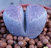 리톱스 핑크쉬  수입들어온멋쟁이입니다 사이즈좋고예뻐요  1165 산아래다육이|Lithops