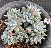 화이트그리니3639|Dudleya White greenii