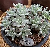화이트그리니11-2108|Dudleya White greenii
