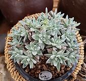 화이트그리니11-2124|Dudleya White greenii