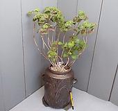 보니페이스 버터플라이,유럽제라늄..고재항아리 pelargonium inquinans