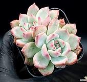 콜로라타 20-170 Echeveria colorata