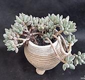 크라우쿰수형 Pachyphytum compactum var. glaucum