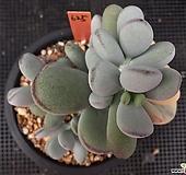 방울복랑금 625(10두자연,대형종)|Cotyledon orbiculata cv variegated