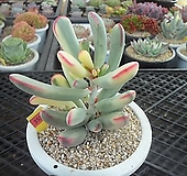 원종방울복랑금11-3550|Cotyledon orbiculata cv variegated