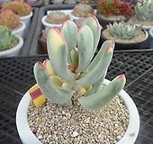 원종방울복랑금11-3551|Cotyledon orbiculata cv variegated