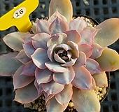 핑키금1129|Echeveria cv Pinky