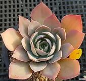 핑키1129|Echeveria cv Pinky