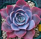 핑키493|Echeveria cv Pinky