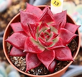 루밍 131130|Echeveria Luming