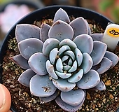 루밍 891130|Echeveria Luming