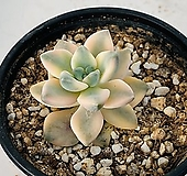 살구미인금(1130)|Graptoveria Titubans