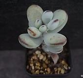방울복랑 19|Cotyledon orbiculata cv