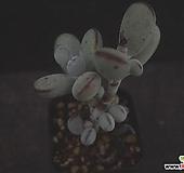 방울복랑 22|Cotyledon orbiculata cv