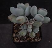방울복랑 23|Cotyledon orbiculata cv