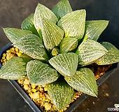 하월시아 실생-314 (Haworthia seedling)|haworthia