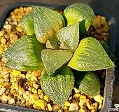 하월시아 실생-318 (Haworthia seedling)|haworthia
